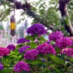 Hydranga Bush in Yard